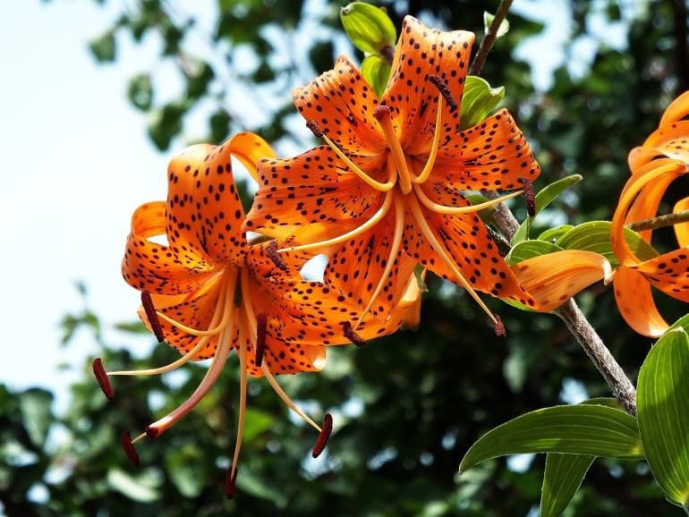 the handy mano manomano tiger lily edible flowers