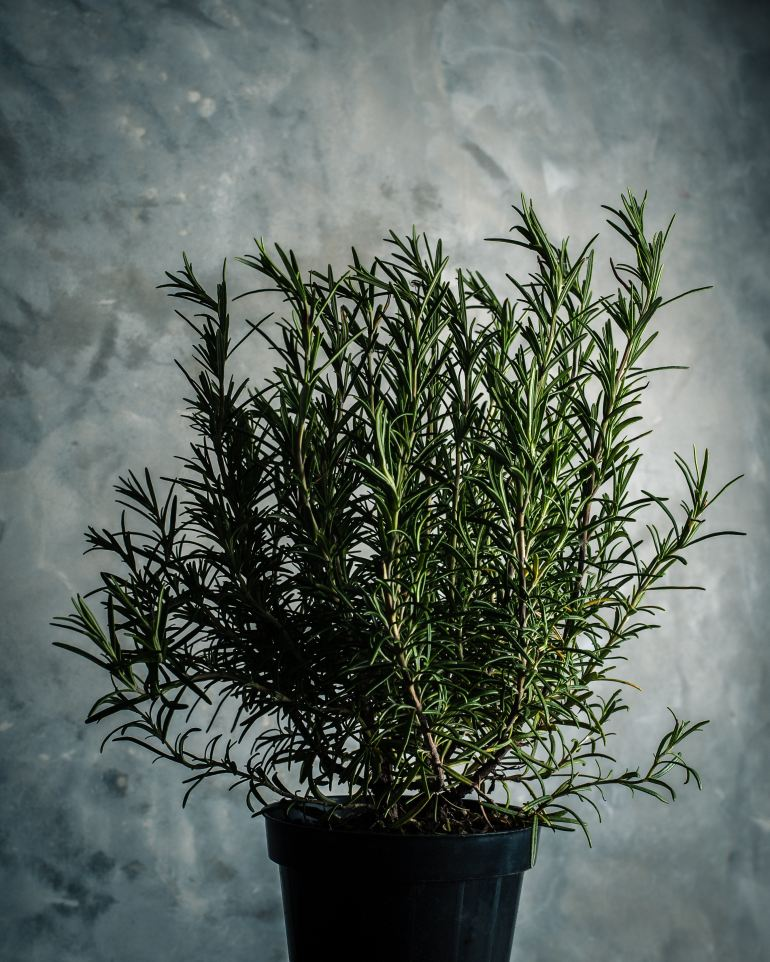 hehandymano mano mano Herb Gardening for Beginners rosemary