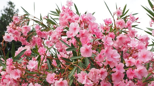 types of shrubs oleander the handy mano mano