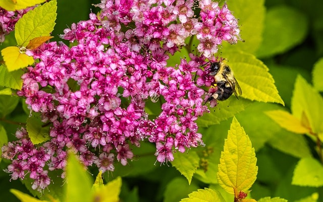 types of shrubs spirea thehandymano mano mano