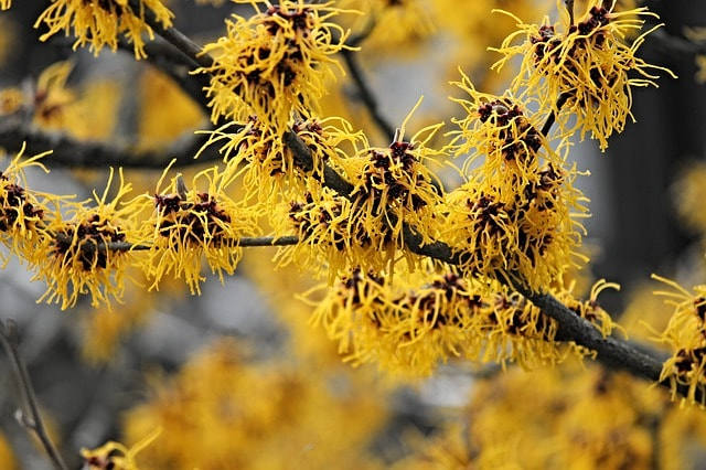 witch hazel types of shrubs the handy mano manomano