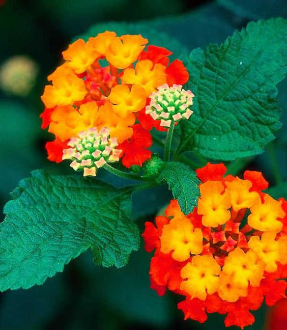 How to Help the Bees bee Friendly Plants the handy mano thehandymano mano mano garden gardening honeybee lantana