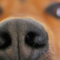 El Moquillo en los Perros: Síntomas, Tratamiento y Contagio