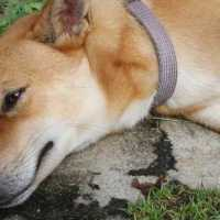 Convulsiones en Perros: causas, fases y recomendaciones