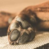 Heridas en las almohadillas de perros: causas, tratamiento y prevenciones
