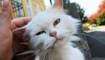 infección anal y ocular en un gato que no come