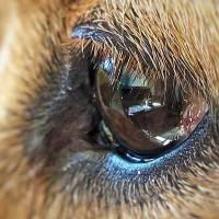 ¿Cómo limpiar el ojo a un perro? Los 5 pasos que debes conocer