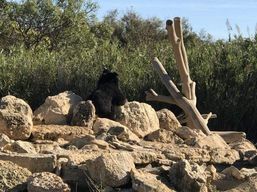 Nämä karhut tunnetaan siitä, että ne seisovat pitkiäkin aikoja kahdella tassulla. Kuvin emme sitä vain valitettavasti saaneet todistettua.