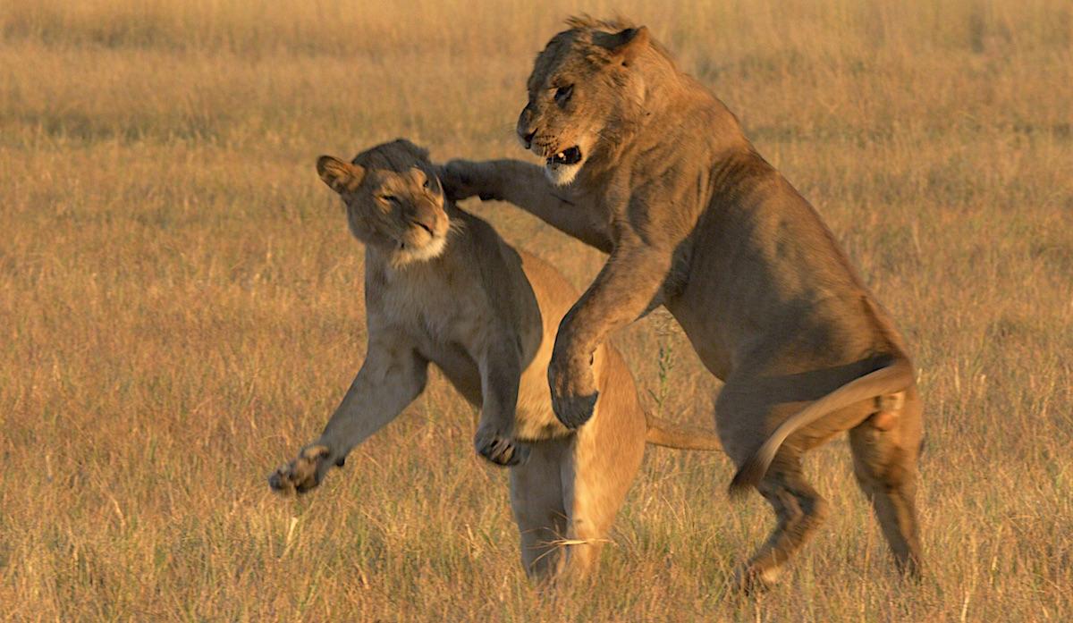 Löwenkampf - eine Szene des zukünftigen Kinofilms