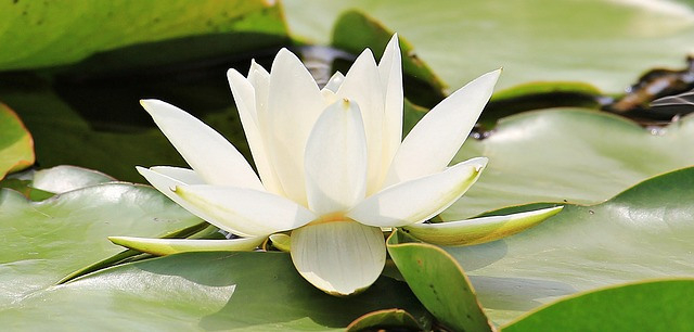 water-lily-1569036_640