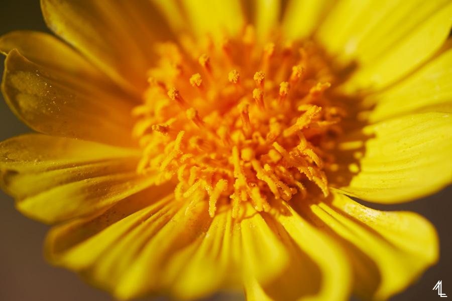 Desert's Gold (Geraea Canescens)