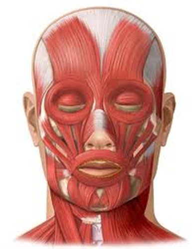 Image showing muscles that may have to compensate due to tongue tie.