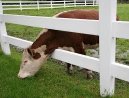L10.imm.1-mucca testa sotto staccionata