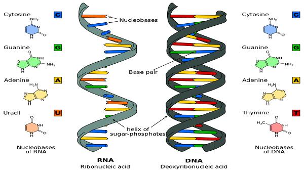 Difference_DNA_RNA-EN.svg_
