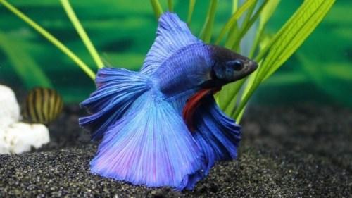 Como cuidar de um peixe beta