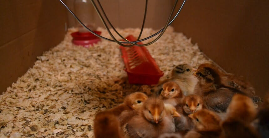 Chick Brooding for Beginners