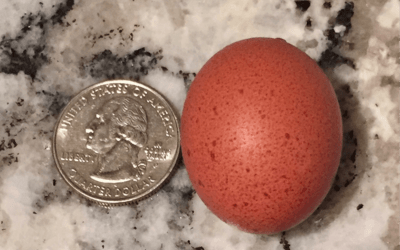 What are Pullet Eggs?