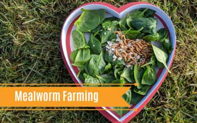 DIY Mealworm Farming