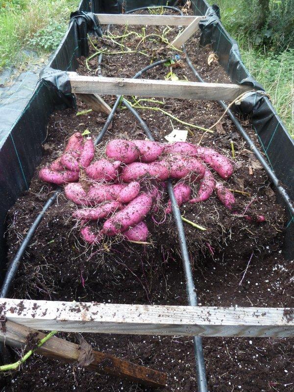 tatlı patatesler1