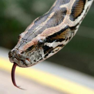 A python. (Because snakes. Not the language.) Source: https://rashmanly.files.wordpress.com/2008/10/1439659.jpg