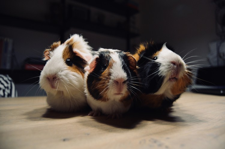 picture of 3 guinea pigs on a table