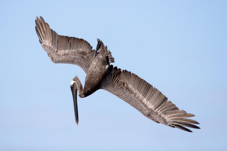 A pelican prepares to dive...