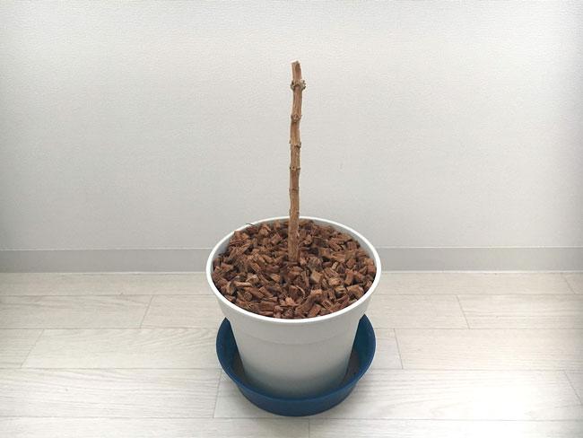 コーヒーの木の成長記録20190814_01