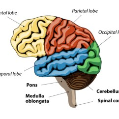 Brain Diagram Pons Drz 400 Wiring The Function Your Bridge To A Good Night S Sleep Mindvalley Blog What Regulate