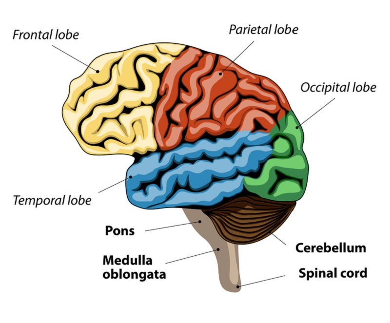 brain diagram pons wiring diagrams for a half hot switched outlet the function your bridge to good night s sleep mindvalley blog what regulate