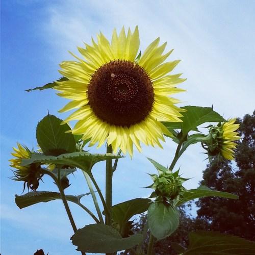 Pat Sloan sunflower