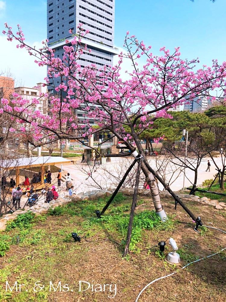 新竹二日遊,行程規劃推薦,香山、超大壽司東門市場,櫻花開滿麗池公園 1
