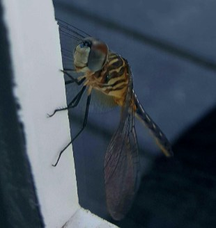 Dragonfly smiling