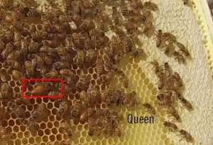 What does a queen bee look like