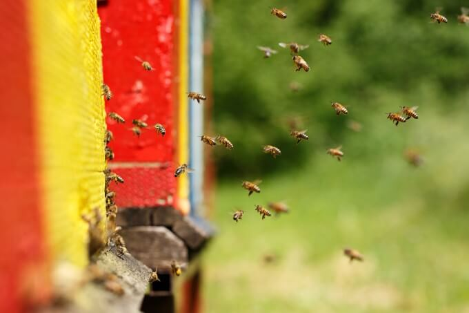 Plant sunflowers for your apiary