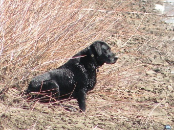 Black lab hunting