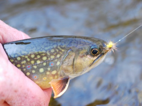 Native Brook Trout Fly Fishing Virginia Fishing Guides