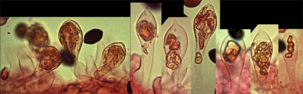 Les deux espèces possèdent des sulphidies (cystides similaires à des chrysocystides, mais dont la couleur jaune est présente avant l'ajout de KOH, contrairement aux chrysocystides vraies, qui sont blanches avant l'ajout de KOH).