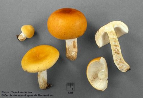Russula aurantiobarlae Y. Lamoureux nom. prov. / Russule mandarine