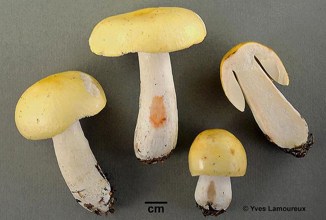 Russula citrinolutea Y. Lamoureux nom. prov. / Russule citrine  Collection Lamoureux 4151 (YL). Récolté le 19 août 2010, dans une sapinière à bouleau, en terrain humide, à Saint-Côme (Lanaudière), au même endroit que ma collection 4022 (CMMF).