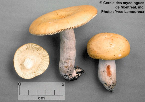Russula decolorans (Fr. : Fr.) Fr. / Russule décolorée  Récolté le 20 septembre 1993, à Contrecoeur (Montérégie), parmi les sphaignes, sous sapins, mélèzes et épinettes. Collection Lamoureux 2063 (CMMF).