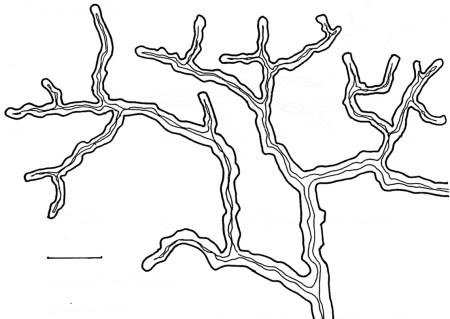 Fig. 4: Hyphe ligative. Daedaleopsis confragosa. © Pirlot, J-M. Mitisme des Polypores