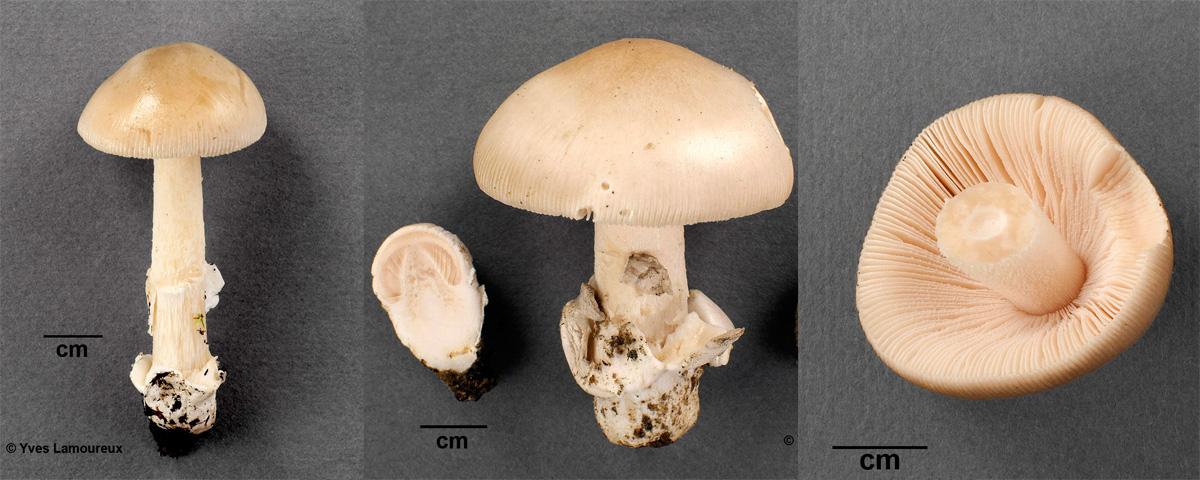 Amanita lividella Y. Lamoureux nom. prov.