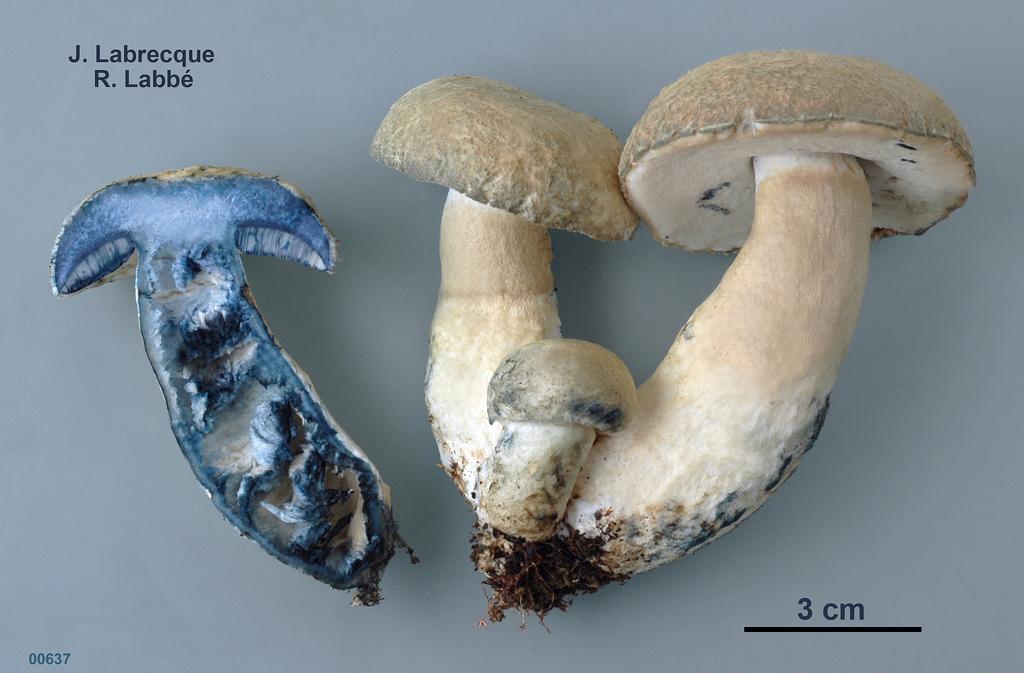 Le bolet bleuissant (Gyroporus cyanescens)