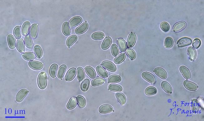 Fig. 8: spores non bolétoïdes du Gyroporus cyanescens. Les spores qui apparaissent parfaitement lisses au microscope optique ont un aspect finement denticulé en microscopie électronique
