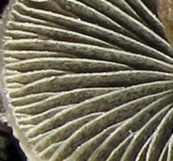 Panaeolus papilionaceus  PHOTO : Georges Lachaîne