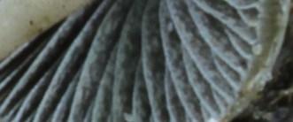 Paneolus papilionaceus PHOTO : Joseph Nuzzolese