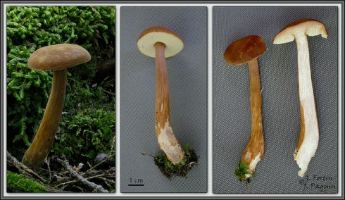 Austroboletus gracilis / Bolet grêle PHOTO : Guy Fortin