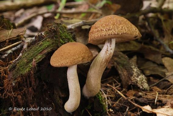 Leccinellum quercophilum / Bolet des chênaies PHOTO : Renée Lebeuf