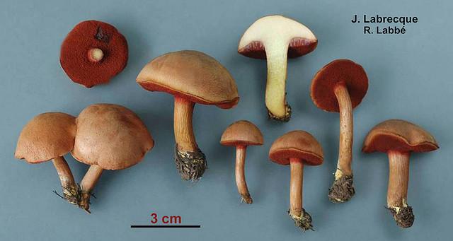 Chalciporus piperatus / Bolet poivré PHOTO : Jacqueline Labrecque