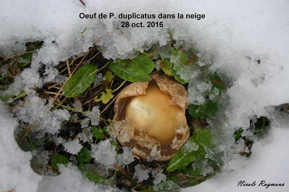 Phallus duplicatus sous la neige